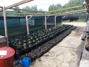 0053 Forest Nursery In August