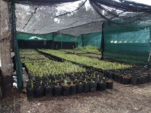 0055 Forest Nursery In August