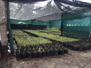 0055 Forest Nursery In August