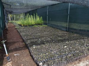 0056 Forest Nursery In August