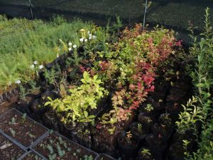 0057 Forest Nursery In August