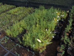 0058 Forest Nursery In August