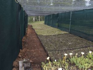 0060 Forest Nursery In August