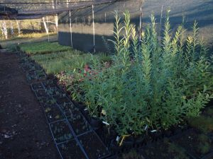0064 Melliferous Willows In F. Nursery