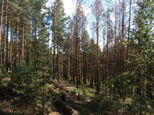 0068 Polluted Forest By Bark Beetle