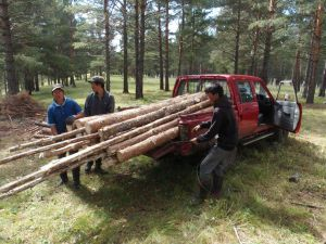 0069 Transport Of Poles For Seed Orchard