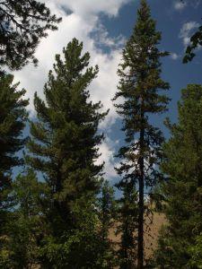 10 Pinus Cembra Var Sibirica And Pice Obovata