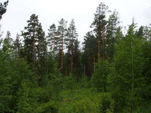 11 Pinus Silvestris