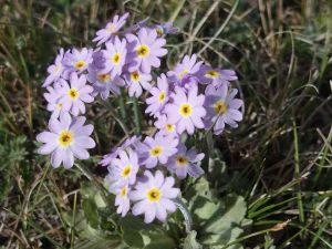 12 Primula Farinosa