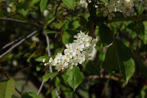 16 Padus Asiatica