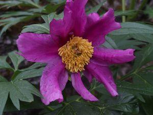 17 Paeonia Lactiflora