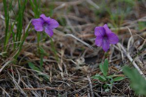 20 Viola Dissecta
