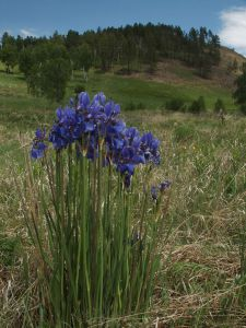22 Iris Sibirica