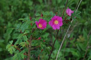 39 Rosa Acicularis