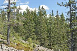 3 Dark Taiga Spruce