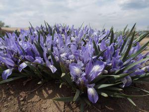 4 Iris Lactea