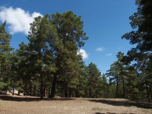 6 Pinus Silvestris