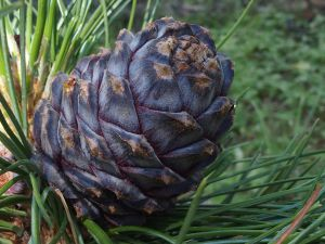7 Cone Of Pinus Cembra Var. Sibirica