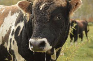 7 Konin Nuga Locality - Observing Bull