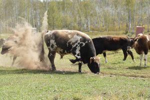 8 Konin Nuga Locality - Nervous Bull
